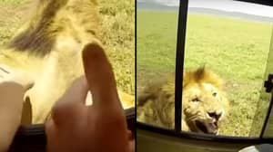 Tourist Tries To Pat Lion's Head On Safari, Their Vehicle Gets Attacked