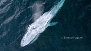 Photographer Captures Second 'Extremely Rare' Blue Whale Sighting In Weeks