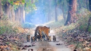Incredible Photograph Shows Tiger Numbers Are Finally On The Rise Again