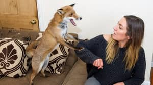 ​Mum Adds To Her Gang With Pet Fox After It Was Abandoned