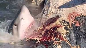 Fisherman Captures Great White Shark Feeding Frenzy On Whale Carcass
