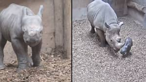 Critically Endangered Black Rhino Gives Birth To Calf At Chester Zoo