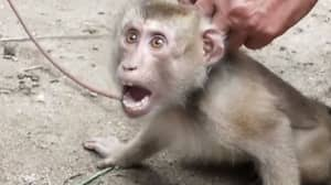 PETA Investigation Reveals Monkeys Chained And Abused To Collect Coconuts