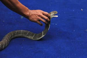 Singer Dies On Stage After Being Bitten By A Cobra During Performance