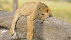 Dynasties Film Crew Unsuccessfully Try To Save Poisoned Lion As Lioness Abandons Her Cub