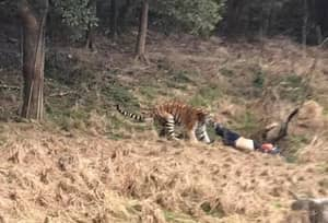 Man Mauled To Death After Entering Tiger's Enclose Inside Zoo