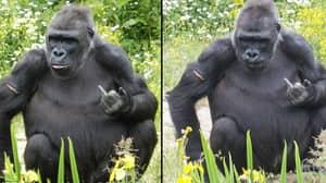 Gorilla Flips Off Visitors At Bristol Zoo