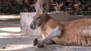 Kangaroo Dies In Zoo After Visitors Threw Bricks At Her