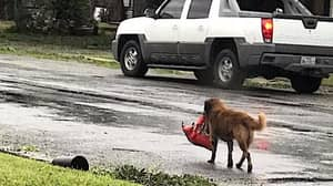 Dog Carrying Bag Of Food Day After Hurricane Harvey Struck Has Gone Viral