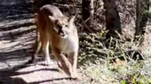 Man Chased By Cougar For Five Minutes During Terrifying Hiking Ordeal