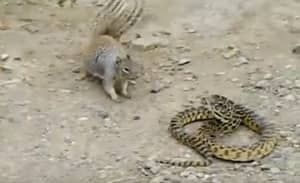 Watch This Squirrel Start A Fight With A Snake
