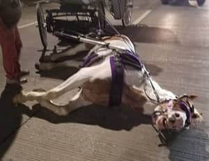 Carriage Horse 'Collapses After Its Driver Pushes It To Make Green Light'