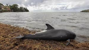 Dead Dolphins Wash Up In Mauritius After Japanese Oil Tanker Spill