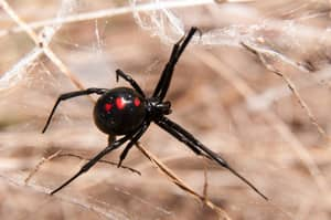 Here's What Happens To Your Body When You Get Bitten By A Black Widow Spider