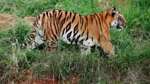 Tiger Completes 'Longest Walk Ever' In 800-Mile Trek Across India