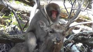 Monkeys Mounting Deer Could Be 'New Trend', Claim Scientists