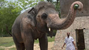 Elephant Kept In Chains For 35 Years Finds New Home In Cambodian Sanctuary
