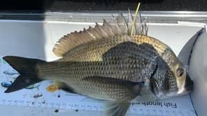 Fish Attached With $10,000 Gold Tags To Attract Tourists To Bushfire Affected Areas