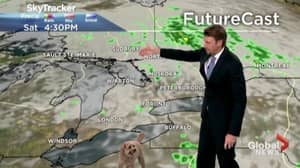 Weatherman's Dog Hilariously Interrupts Live Report