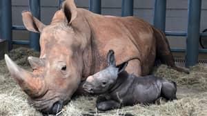 Rare White Rhino Calf Born At Disney's Animal Kingdom