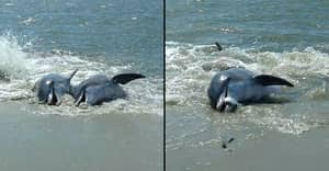 Dolphins Beach Themselves To Feast On Fish In Spectacular Footage