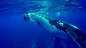 Amazing Footage Shows Whale Protect Diver From Shark