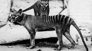 Sightings Of Extinct Animal Of 80 Years Spark Interest In Australia