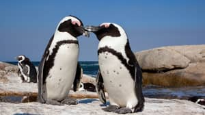 Swarm Of Bees Kills More Than 60 Endangered Penguins In South Africa