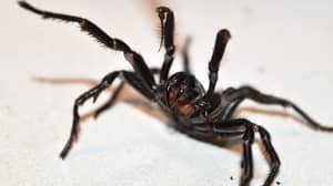 New South Wales Warned To Watch Out For A 'Plague' Of Deadly Spiders