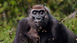 Stunning Image Of Gorilla Surrounded By Butterflies Wins Photography Competition