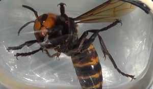 Giant Asian Hornets Could Be Coming To The UK And They're Terrifying