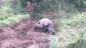 Baby Rhino Tries To Suckle From Poached Mother In Heartbreaking Video