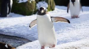 Penguins At Edinburgh Zoo Are Loving The Snow