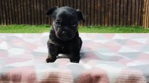'Purebred Frenchie' Bought For £600 Turns Out To Be Completely Different Breed Of Dog