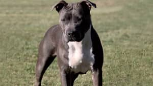 Aussies Hit Back At Calls To Ban American Staffies And Say The Breed Is Beautiful