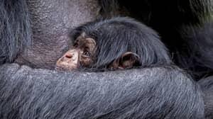 Critically Endangered Chimpanzee Born At UK Zoo