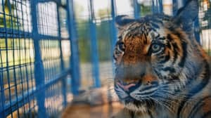 Tinder Tells Users To Remove All 'Tiger Selfies' Amid Pressure From PETA