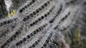 Toxic Caterpillars Are Apparently 'Invading' The UK