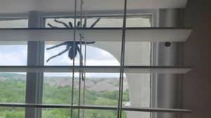 Couple Find Huge Tarantula Dangling Outside Their Window