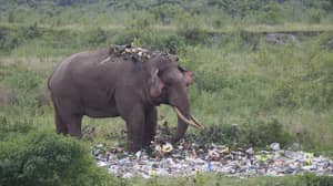 Hungry Elephant Wades Through Pile Of Rubbish In Search For Food