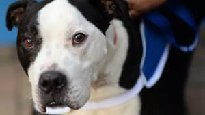 MPs To Debate Whether Staffordshire Bull Terriers Should Be Banned Today