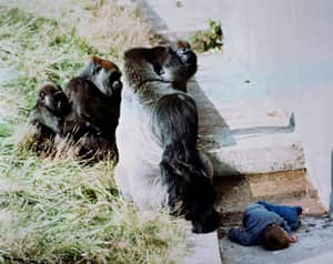 Brit Saved By Gorilla When He Was A Kid Says Zookeepers Were Right To Shoot Harambe