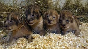 Swedish Zoo Says It Has Euthanised Nine Healthy Lion Cubs Since 2012