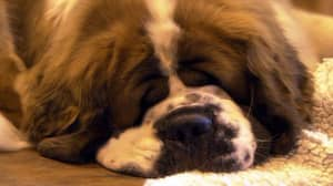 Turns Out Dogs Also Lie Awake At Night Thinking About Their Problems