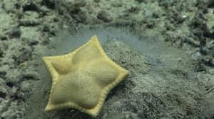 Scientists Photograph Starfish That Looks Just Like Ravioli