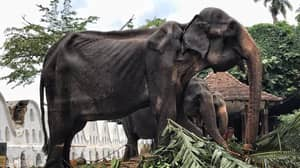 Emaciated Elephant Forced To Parade Streets During Festival In Sri Lanka, Charity Says