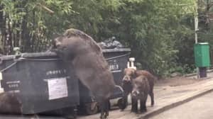 Check Out The Size Of The Giant Boar Caught Rummaging Through A Bin