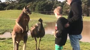 Boy Gets Punched In The Face By Kangaroo While Emu Watches On