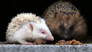 Hedgehogs Are At Risk Of Dying Of Dehydration As Heatwave Continues