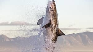 Incredible Pictures Show Giant Great White Shark Leaping Out Of Water To Snatch Seal